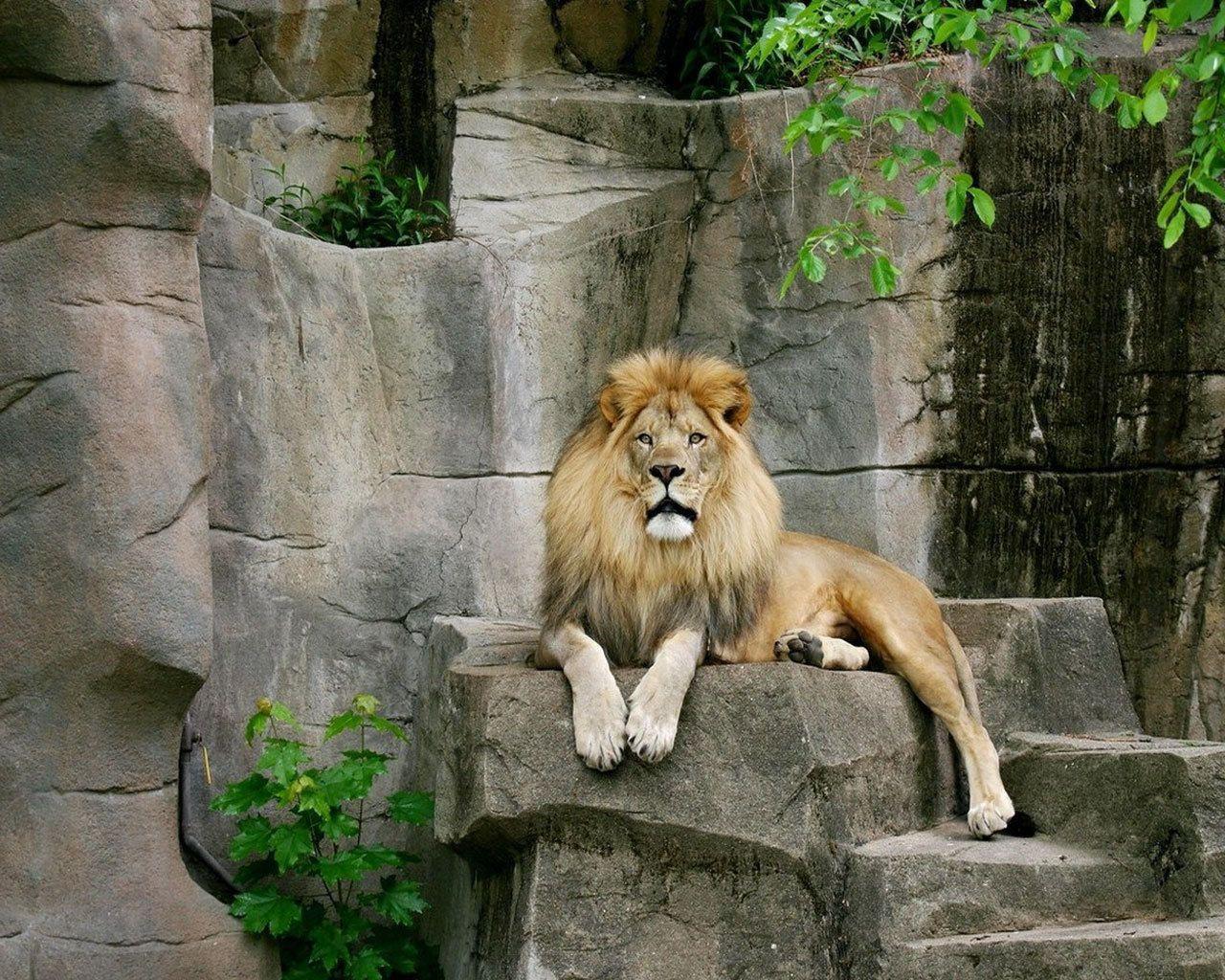 Wild-animal-lion-wallpaper-HD